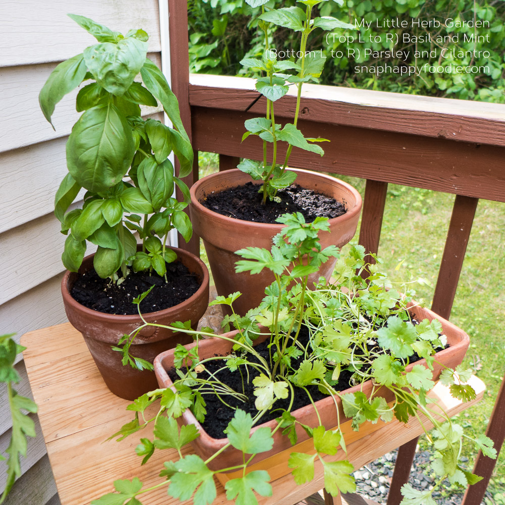 Basil, Mint, Parsley and Cilantro